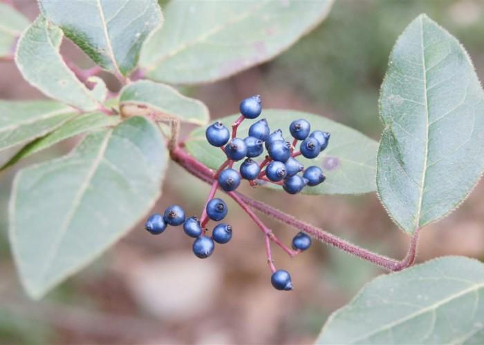 baies de laurier tin (viburnum tinus) en janvier